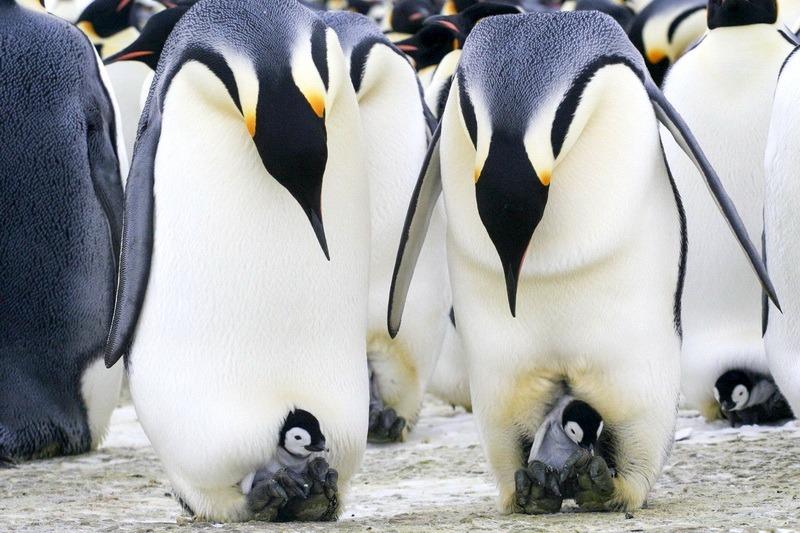 Императорские пингвины с малышами