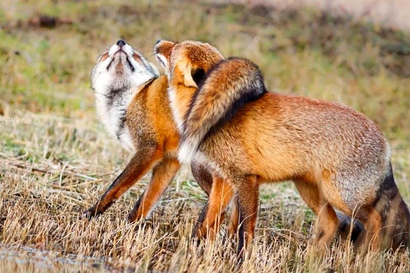 Лис и лисица