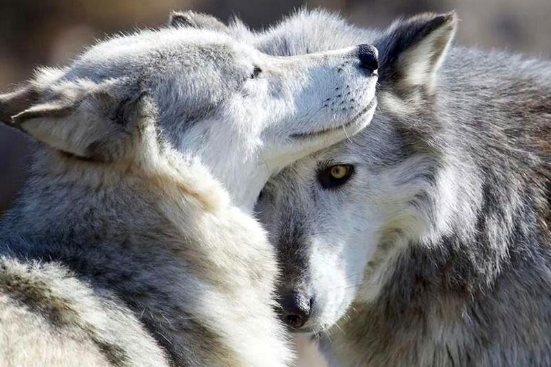 Красивая пара волков