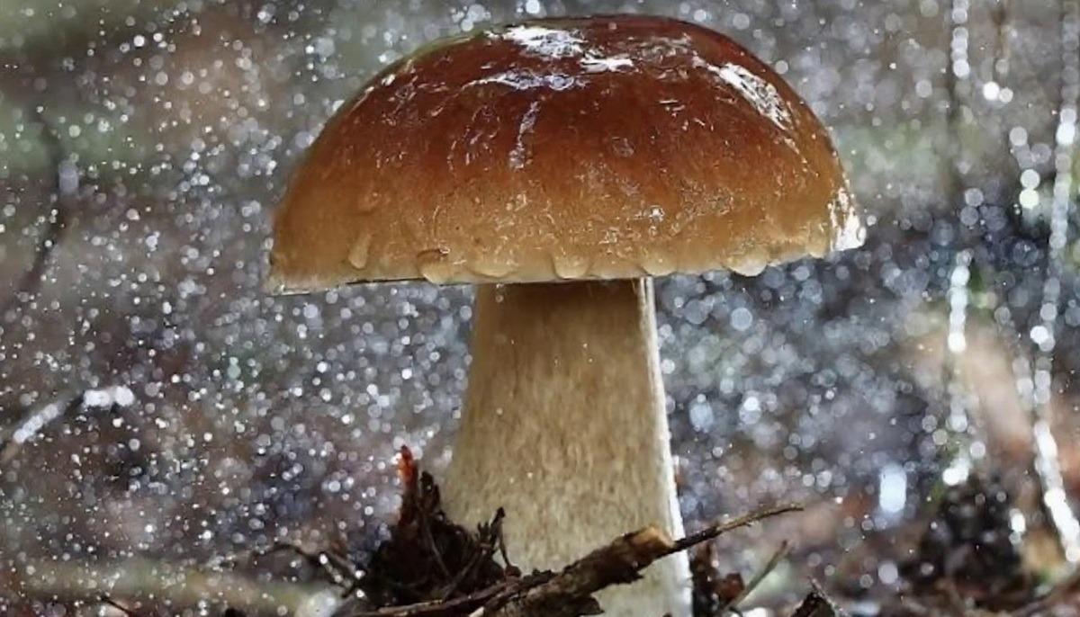 Как быстро растут грибы и когда появляются после дождя