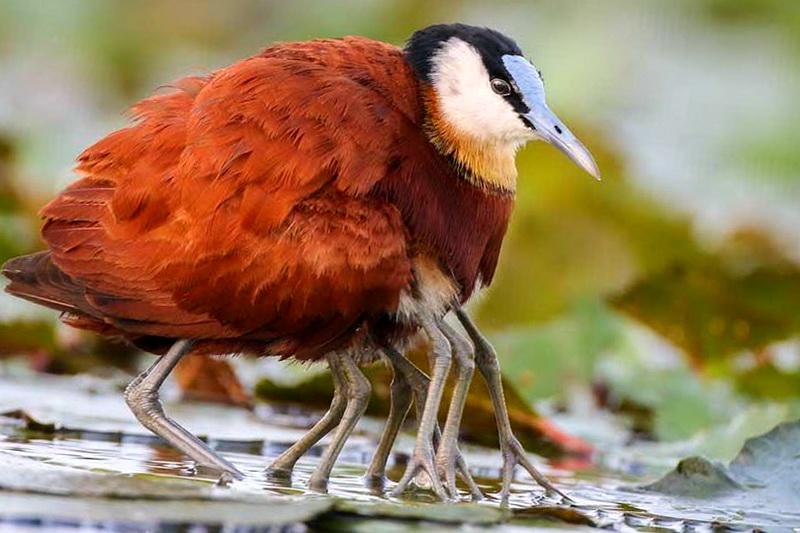 Африканская якана с птенцами