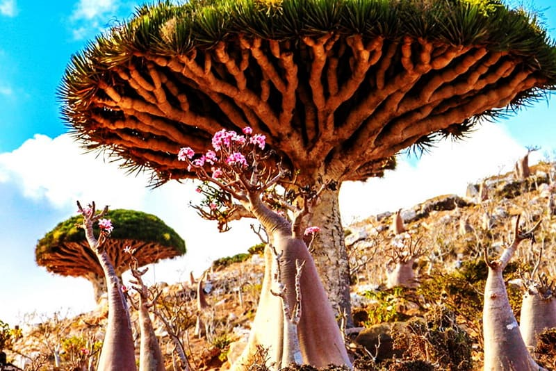 Остров Сокотра деревья