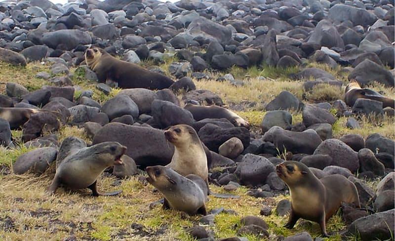 Морские котики острова Тристан-да-Кунья