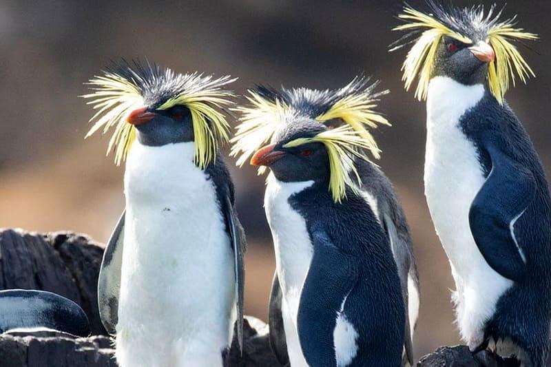 Северные хохлатые пингвины