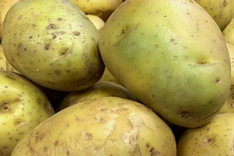 Картофель с зелеными пятнами