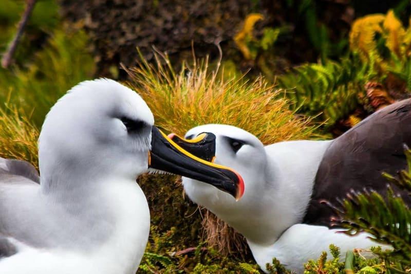 Желтоклювые альбатросы Тристан