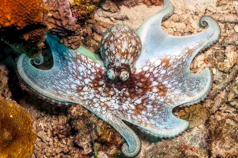 Карибский рифовый осьминог