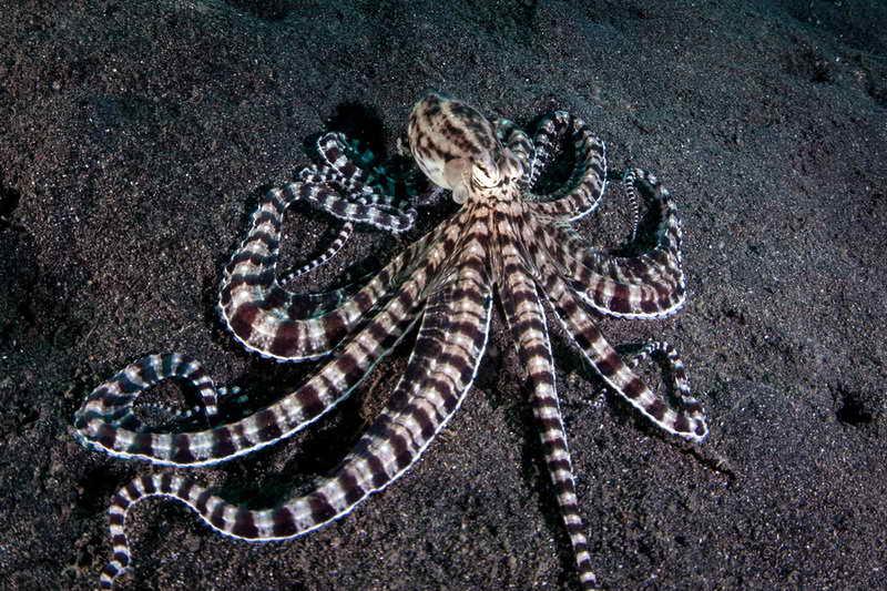 Мимический осьминог подражатель