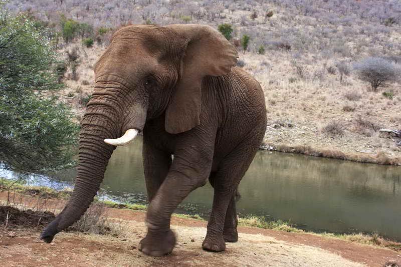 Африканский или саванный слон
