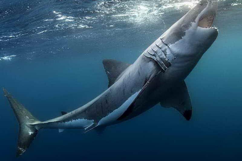 Больная белая акула фото
