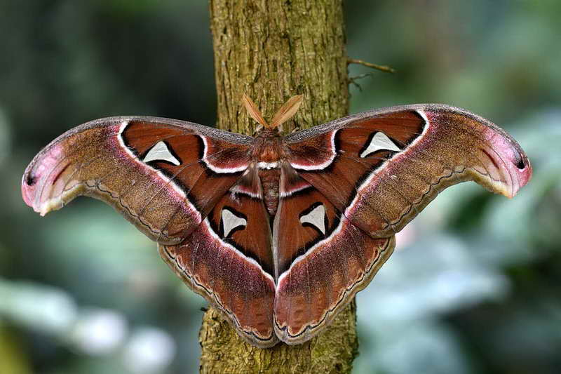 Большая бабочка атлас