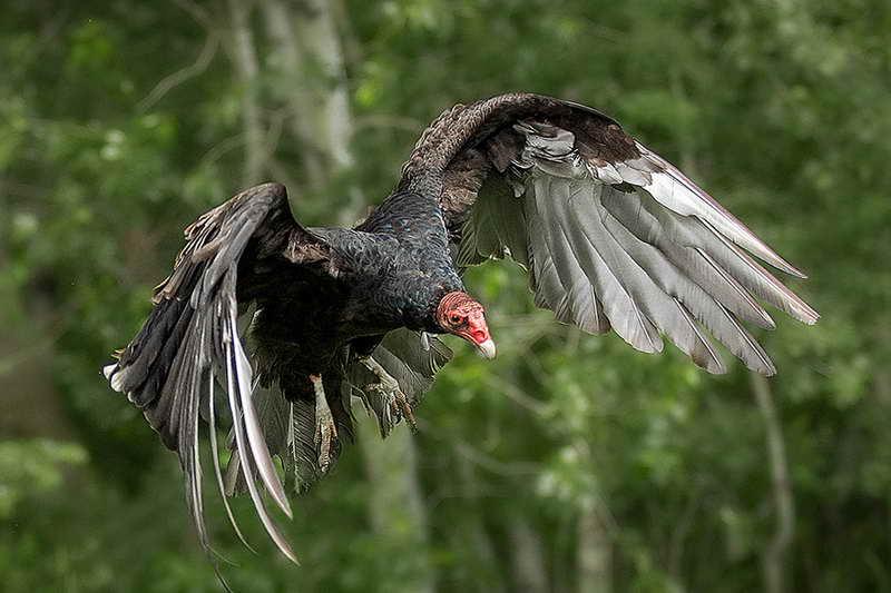 Гриф-индейка взмах крыльев