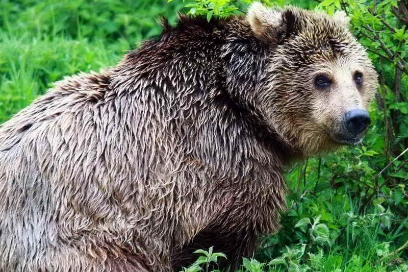Медведь серебристый гризли
