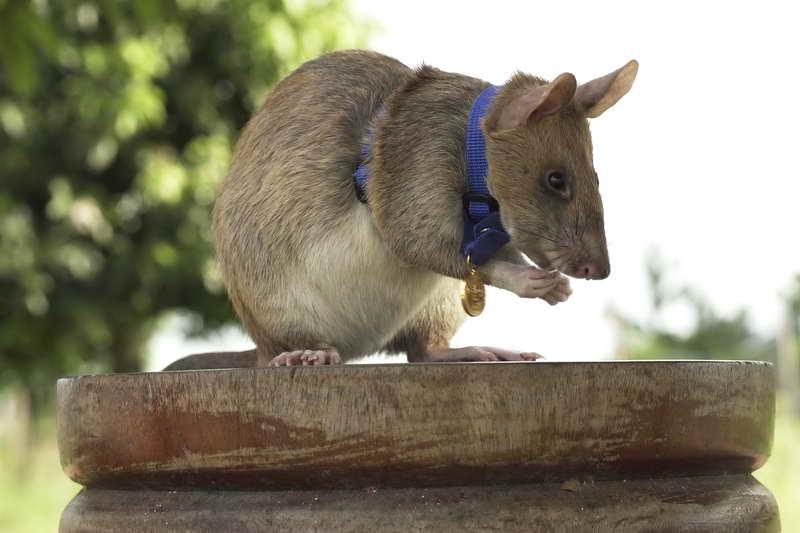Гамбийская хомяковая крыса с медалью