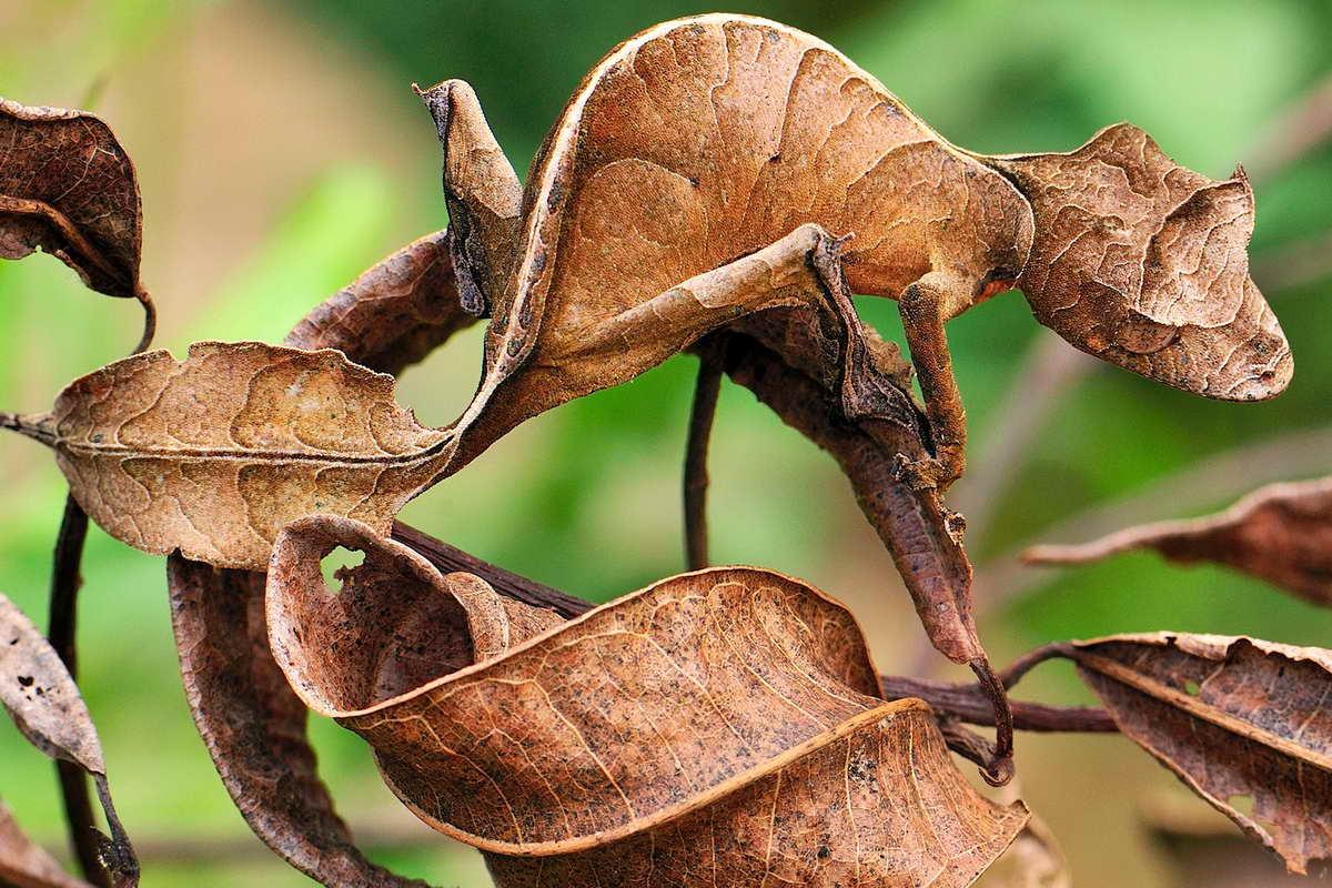 Геккон похож на лист