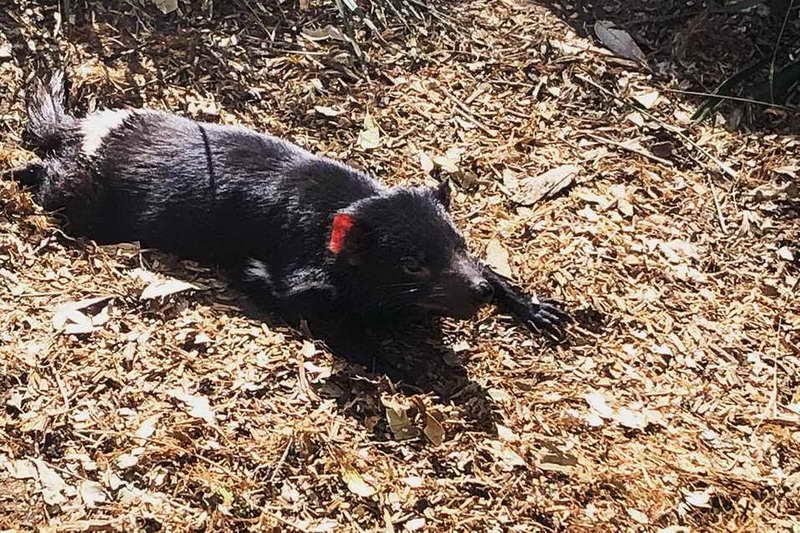 Тасманийский дьявол отдыхает