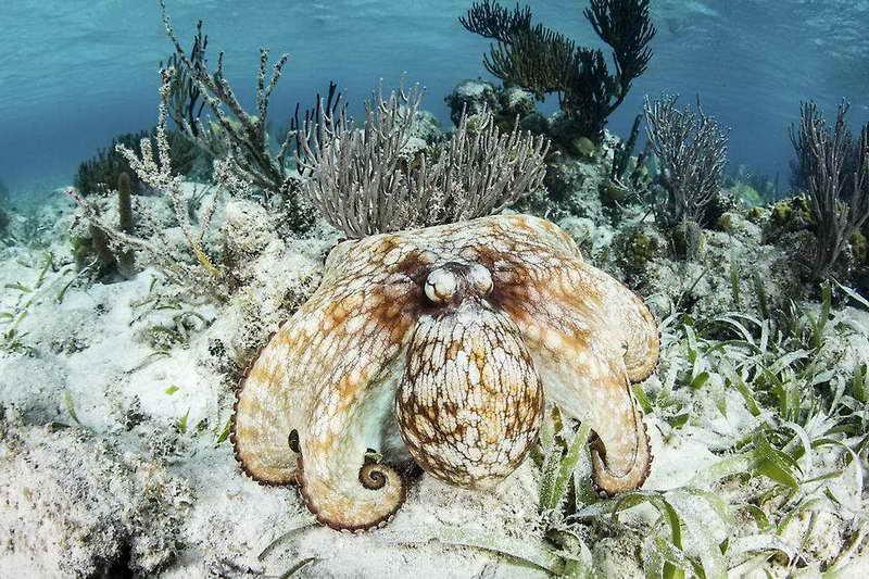 Маскировка карибского осьминога