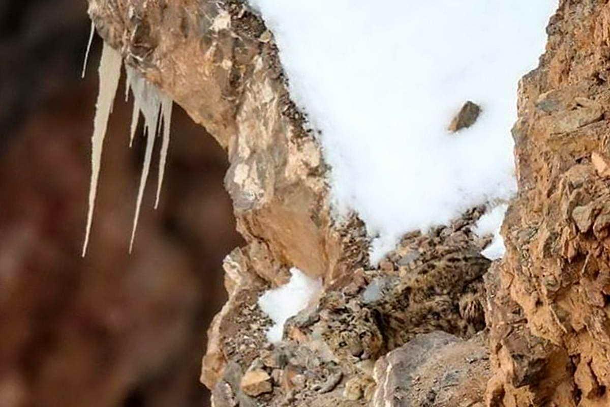 Снежный барс в горах