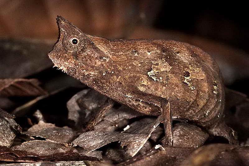 Хамелеон брукезия-микро