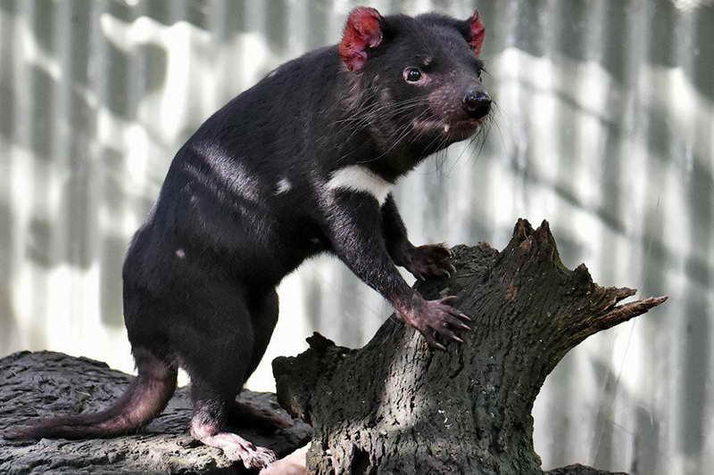 Тасманский дьявол забавный