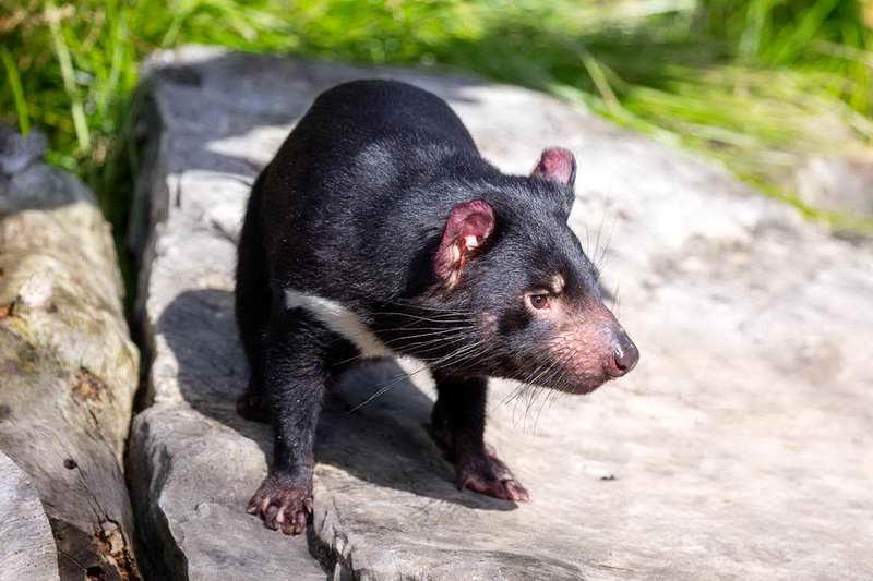 Тасманский дьявол в стойке