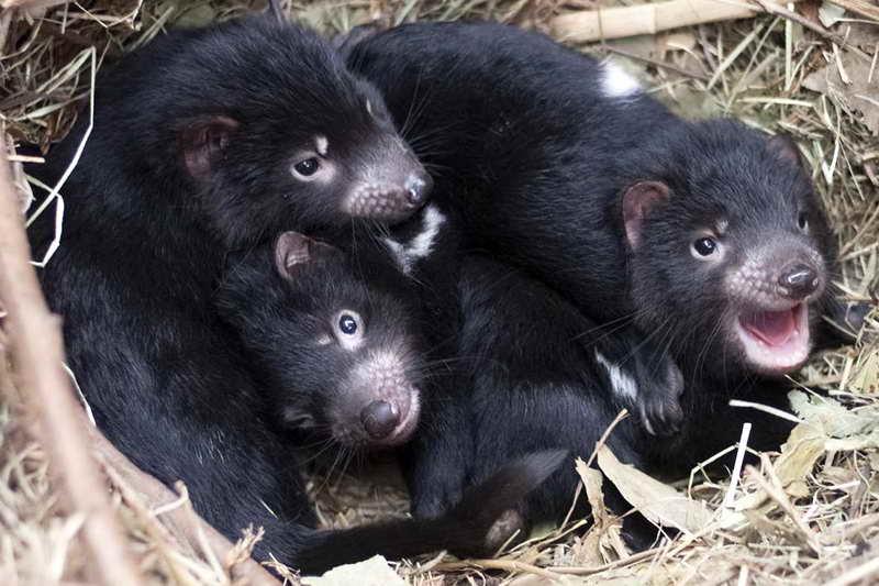 Малыши тасманского дьявола