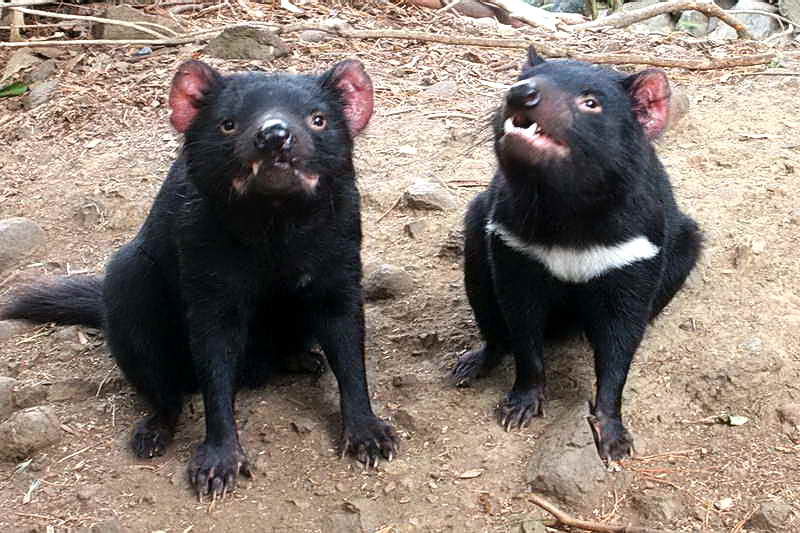 Сумчатый дьявол Тасмании