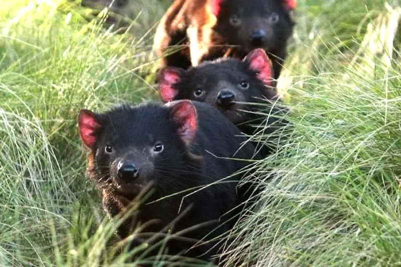 Группа тасманских дьяволов