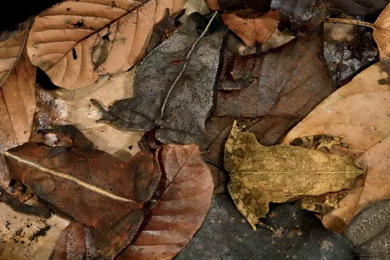 Листовая лягушка