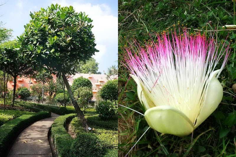 Цветок Баррингтония азиатская