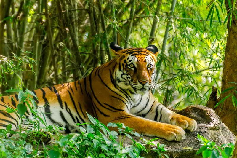 Бенгальские тигры в джунглях