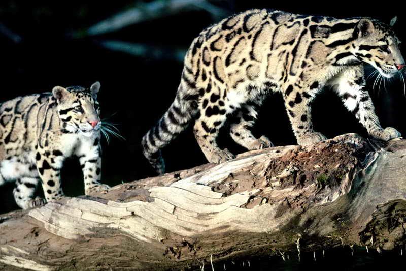 Дымчатый леопард ночью