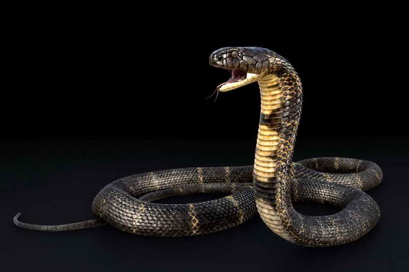 Королевская черная кобра