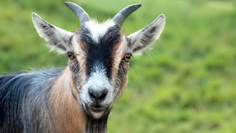 Миотоническая коза, которая падает в обморок от страха и радости