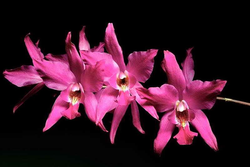 Цветы орхидеи Лелия