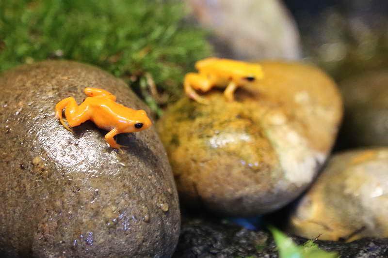 Золотая лягушка мантелла