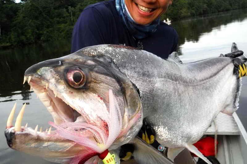 Рыба паяра клыки
