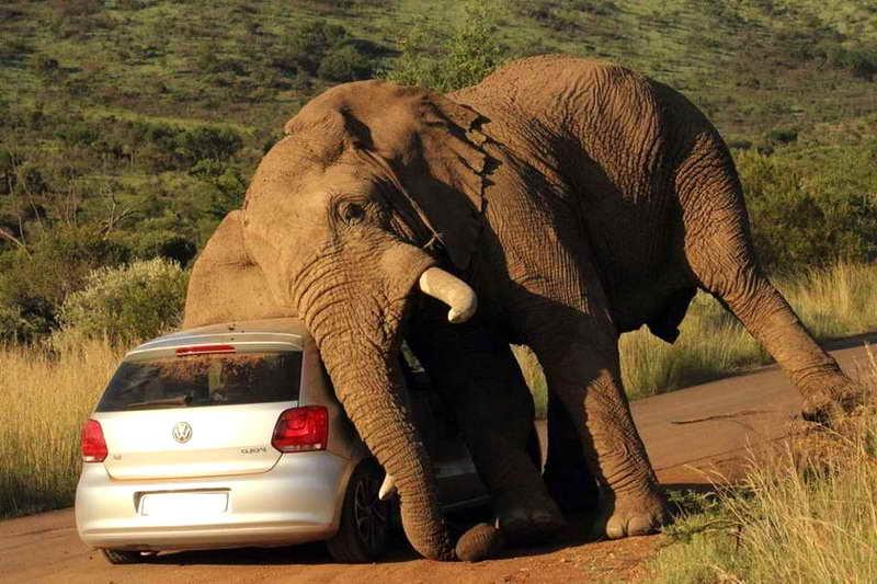 Африканский слон и машина