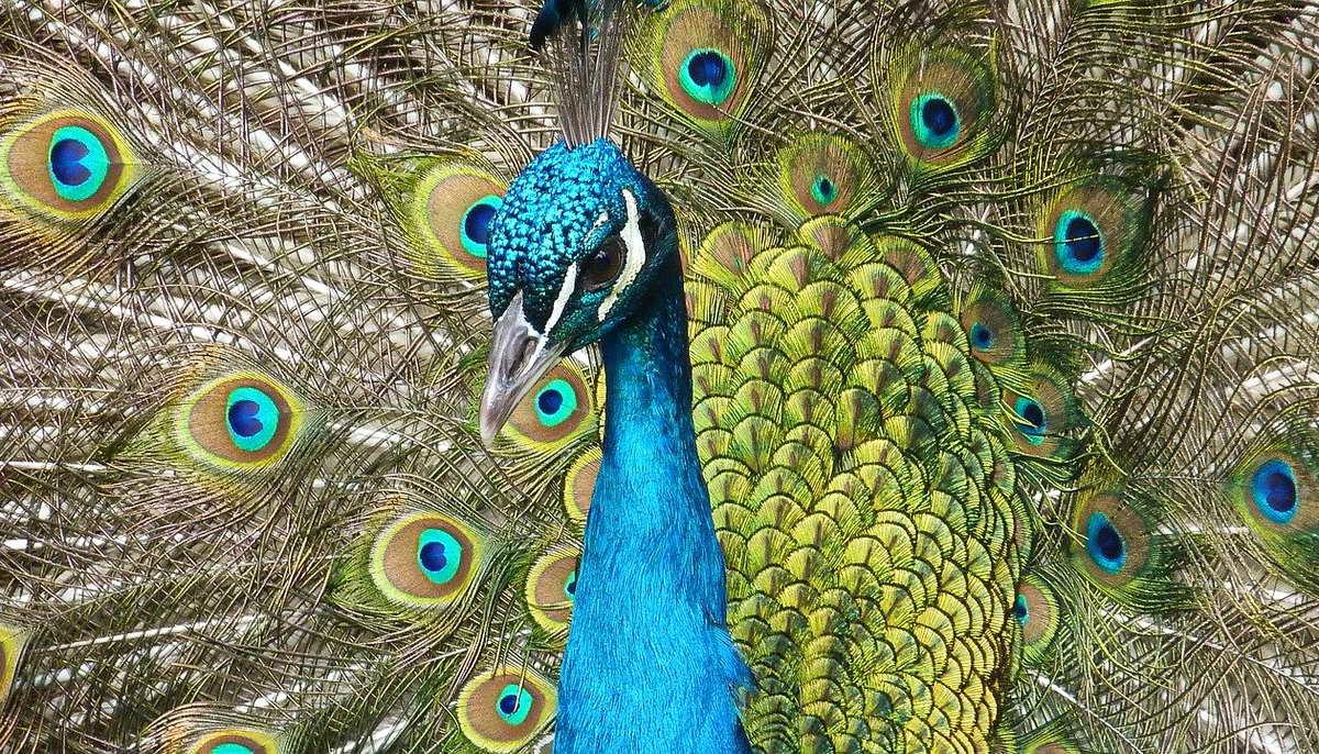 16 интересных фактов о павлинах