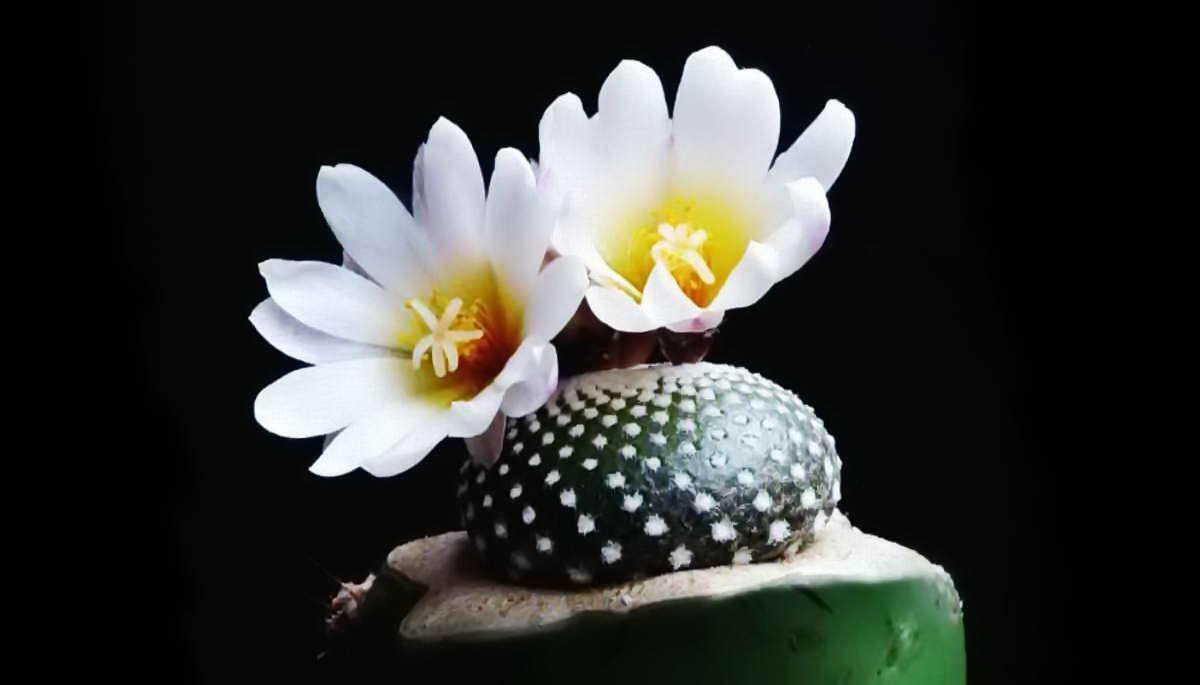 Самый маленький и необычный кактус в мире