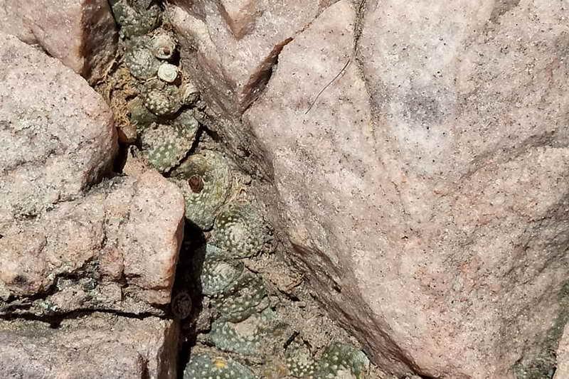 Кактус в камнях