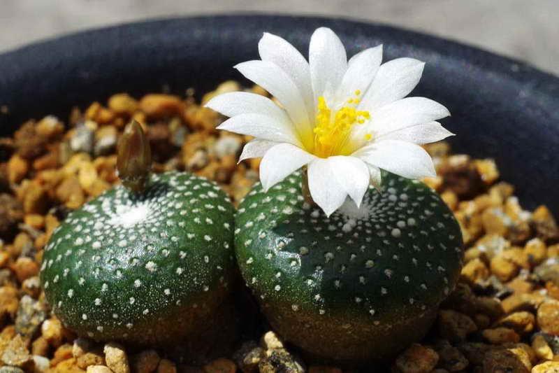 Мини кактус цветет