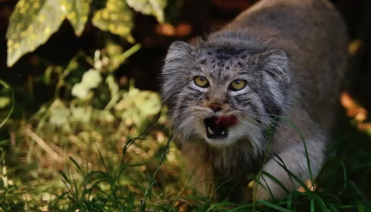 Интересные факты о мануле — самом диком коте