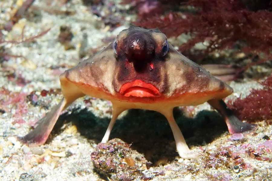Красногубая рыба Нетопырь Дарвина