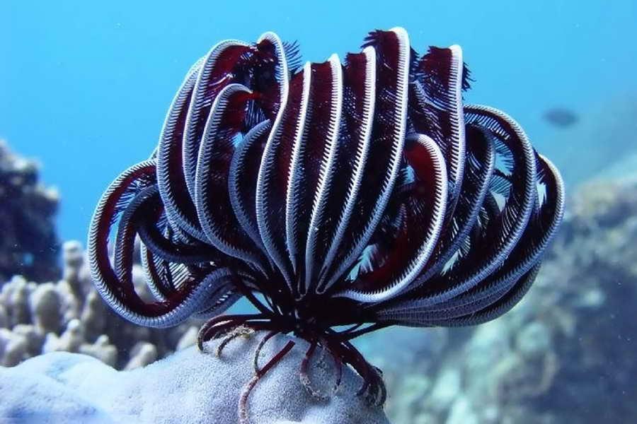 Криноидеи или Морские лилии