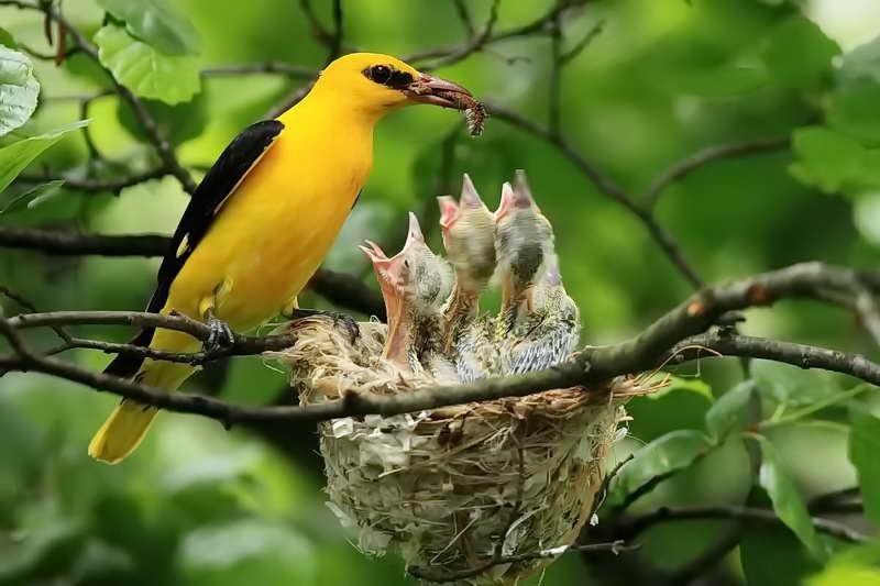 Птенцы иволги в гнезде