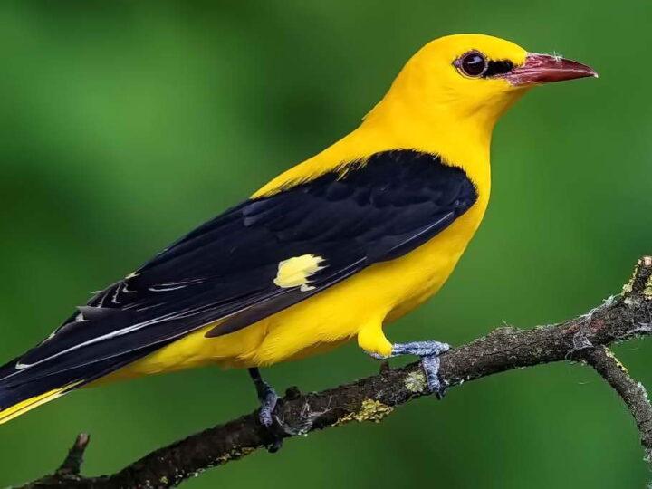 Лесная флейта — птица иволга