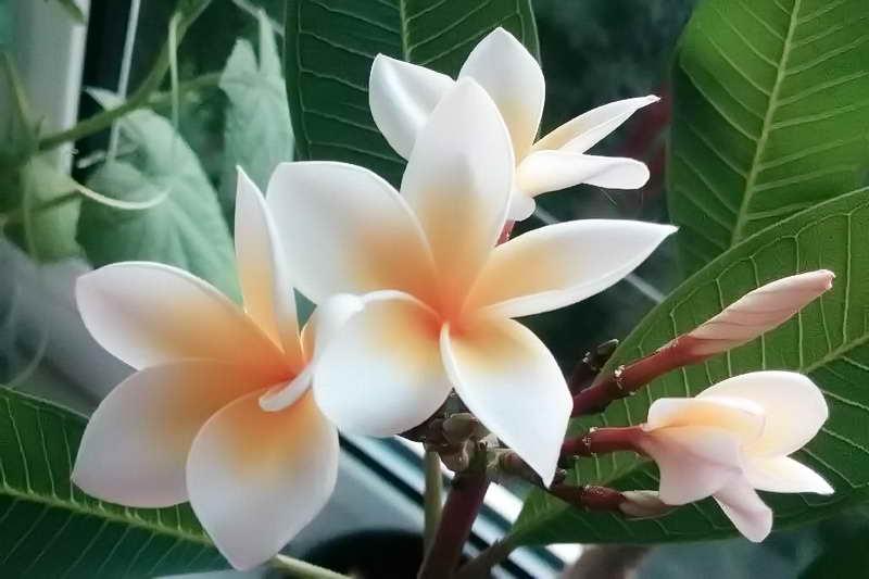 Красивый цветок плюмерия